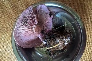 рядовка, рядовка фиолетовая, съедобный гриб, позднеосенний съедобный гриб, грибы, фиолетовые грибы, мицелий