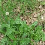 Весенние деликатесы с дикорастущими травами