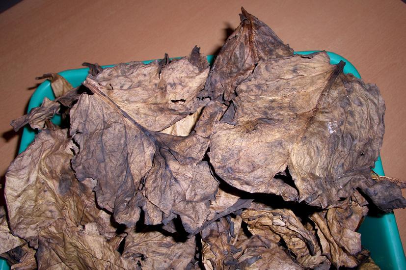 Сухие листья бадана