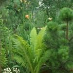 Как вырастить садовые бонсаи из сосны обыкновенной (лесной)?