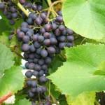 Листья подмосковного винограда. Использование и заготовка