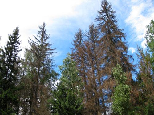 Короед в подмосковных лесах