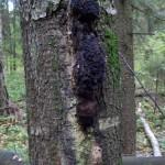 Березовый гриб чага вылечивает многие болезни
