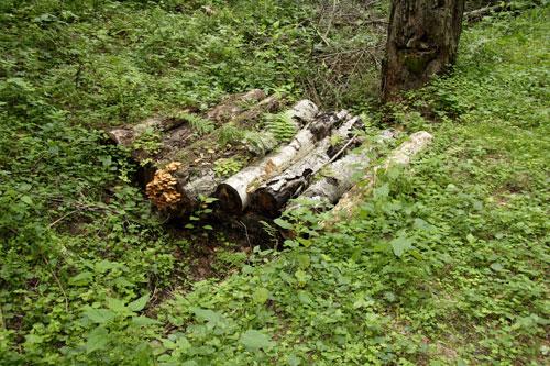 Летние опята на старых бревнах в лесу