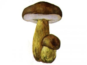 Желчный гриб