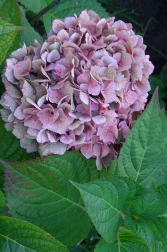 Гортензия крупнолистная с розовыми соцветиями