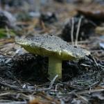 Зеленушку можно найти даже поздней осенью