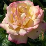 «Глория Дей» — самая знаменитая роза ХХ века