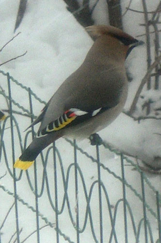 Свиристель - птица с хохолком на голове.  Пьяные свиристели.