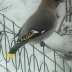 Свиристель — птица с хохолком на голове. Пьяные свиристели