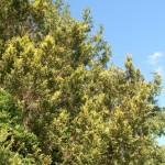 Что делать, если туя и другие хвойные осенью желтеют?