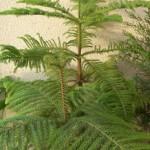 Араукария — комнатная ель