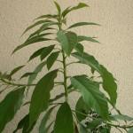 Как вырастить авокадо из косточки? Уход за этим экзотическим растением