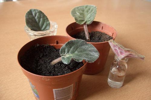 Сенполия - укоренение листового черенка