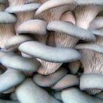 Вешенка — вкусный и полезный гриб, описание и виды