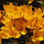 Выращивание и размножение крокусов