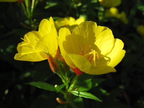 Цветы для золотого сада