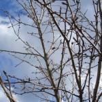 Как уберечь и вылечить яблоню и грушу от парши; устойчивость сортов яблонь