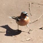 Зяблик — певчая птица России