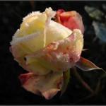 Осенняя обрезка и укрытие роз на зиму