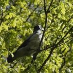 Серая ворона (Corvus cornix) — описание, поведение, содержание в доме