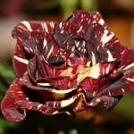 Как сделать так, чтобы розы в букете стояли дольше