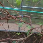 Как заготовить черенки (чубуки) винограда осенью и сохранить их зимой?