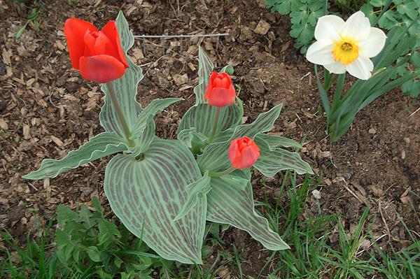 Тюльпаны и нарцисс