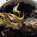 Как сохранить до посадки купленные зимой многолетние флоксы и ирисы