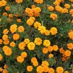 Выращиваем рассаду бархатцев: сроки посева семян, посадочные ёмкости и основной уход
