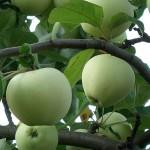 Яблоня: календарь работ в саду в течение года