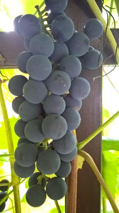 """виноград сорта """"Альфа"""": выращивание, ягоды, вредители, озеленение"""