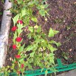 Как вырастить и использовать листья и плоды шпинат-малины
